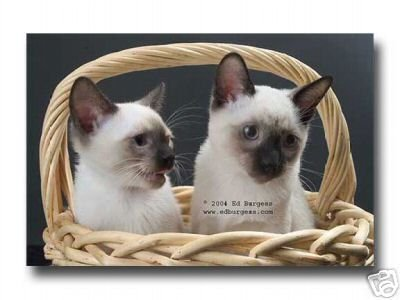 """Pretty Kitties "" Siamese Cat Animal Pets Basket Fine Art Photo print"