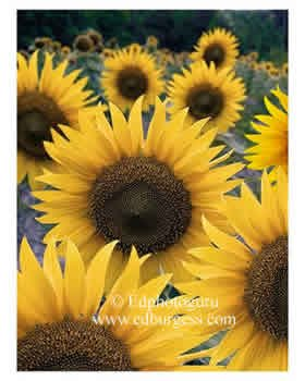 """Sunflower Portrait"" Sunflowers Garden Kitchen Wall Fine Art Print Photo"