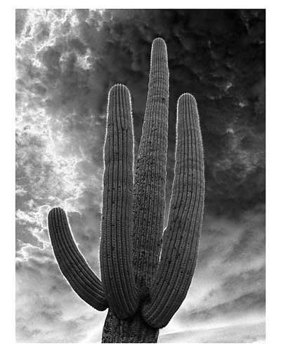 """Saguaro Portrait"" 13 x 19 inches Saguaro National Park Black & White Desert Sonoran"