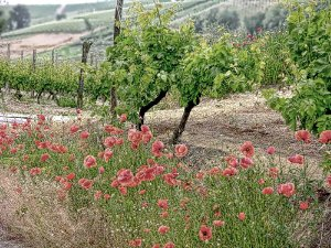 GRAPE VINES & POPPIES