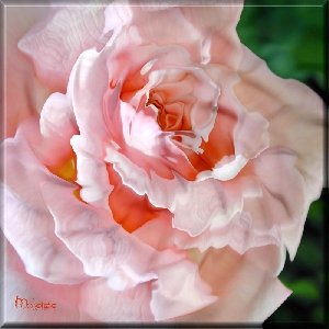 LIQUID PEACH ROSE