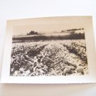 Vintage pineapple fields Honolulu Hawaii photograph black white photo