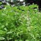 Basil Seeds - Lime