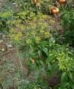 Dill Seeds - Banquet