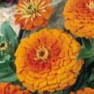 Zinnia Seeds - Orange King