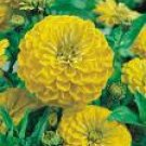 Zinnia Seeds - Canary Yellow