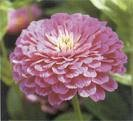 Zinnia Seeds - Purple Prince
