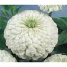 Zinnia Seeds - Polar White