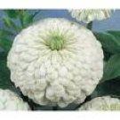 Zinnia Seeds - Polar White