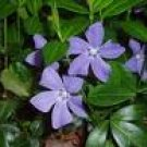 Periwinkle Plants