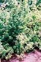Basil/Dwarf Green Bush