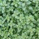 Oregano Seeds - Greek