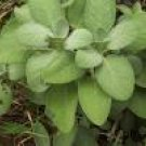 Sage/Broad Leaf