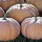 Long Island Cheese Pumpkin