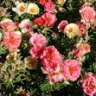 Rose Moss - Mixed Colors