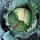 Perfection Drumhead Savoy Cabbage Seeds- 200