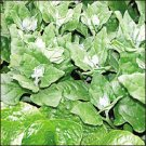New Zealand Spinach Seeds- 100