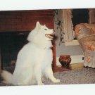 """Sibi"",  A Siberian Samoyed Postcard"