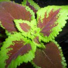 10 SEEDS COLEUS RAINBOW MIX