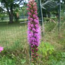 10 SEEDS BLAZING STAR LIATRIS