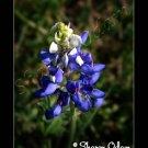 Texas Bluebonnet Fine Art Print