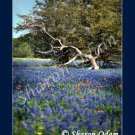 Field of Texas Bluebonnets Fine Art Photography