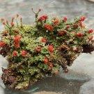 2 PC Live British Soldier Lichen Moss Cladonia Cristatella for Terrarium Garden