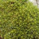 Live Cushion/Rockcap Moss for Terrarium Garden Large Order