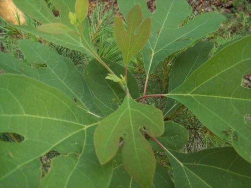 2 Sassafras Albidum Tree Seedlings Fresh Harvested