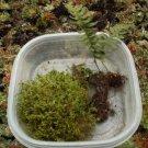 100% Natural Micro Fern Live Moss Kit for Bonsai Terrarium