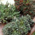 3 Pc Terrarium Lichen Kit British Soldier Pixie Pityrea Live Fresh