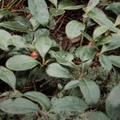 4 Pk Live Teaberry Plants Wintergreen 100% Natural