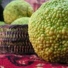 Osage Orange Hedge Apples, freshly ripe - 15-25 fruits per box