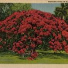 Hawaii Postcard, Huge Poinciana Tree in Bloom, Full Color c.1934