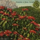 Cypress Gardens Florida Postcard, Poinsettias in Bloom, Full Color c.1951