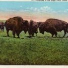Black Hills South Dakota Postcard, Buffaloes Grazing in State Park, Full Color c.1939