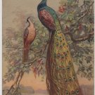 Peacocks Roosting in Flowering Tree, Illustrated Swiss Postcard c.1908