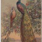 Peacocks Roosting in Flowering Tree, Illustrated Swiss Postcard c.1908