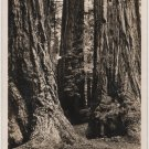 California Landscape Card, Sequoias at Mt. Tamalpais & Muir Woods Railway c.1925