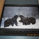 bears photo print poster Michio Hoshino Evening Storm - Nature's Wonders - OOP