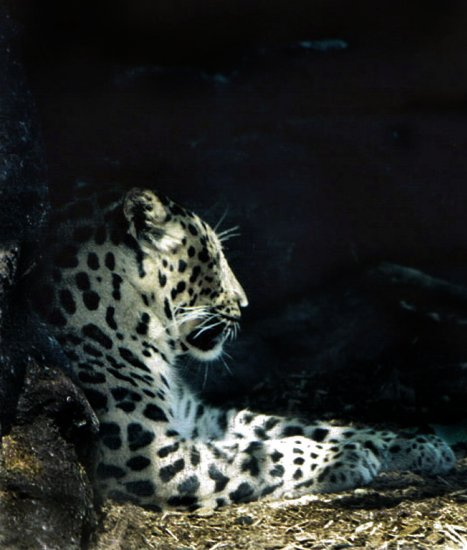 5x7 Resting Leopard- signed, matted, framed 5x7 print