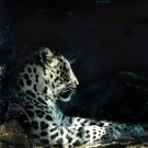 5x7 Resting Leopard- signed, matted, framed 5x7 print