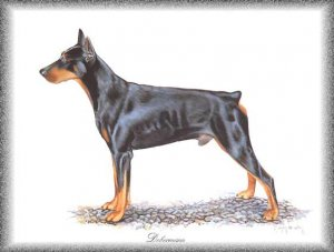 Doberman Pinscher dog canvas art print