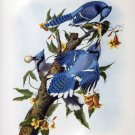 Blue Jay birds bird canvas art print by John James Audubon