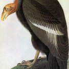 California Condor bird canvas art print by John James Audubon