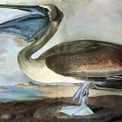 Brown Pelican 1821 bird canvas art print by John James Audubon