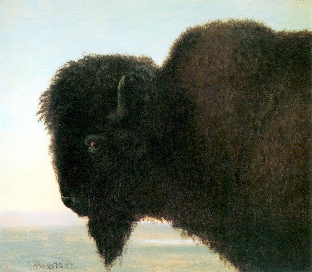 Buffalo Head American West animal canvas art print by Albert Bierstadt