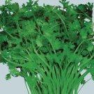 Organic Mexican Specialty Cilantro 100 Seeds