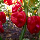 HOT CHILE PEPPER RED SAVINA HABANERO 10+ SEEDS