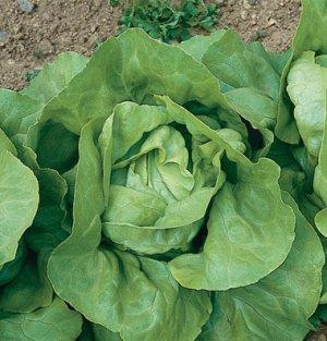 Organic Heirloom Butterhead Lettuce 200 Seeds Free Ship